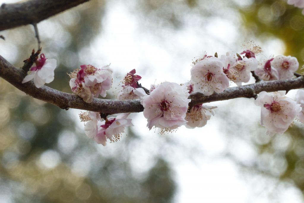 Cerisier en fleurs dans la région de Kyoto (c)Elise Chevillard