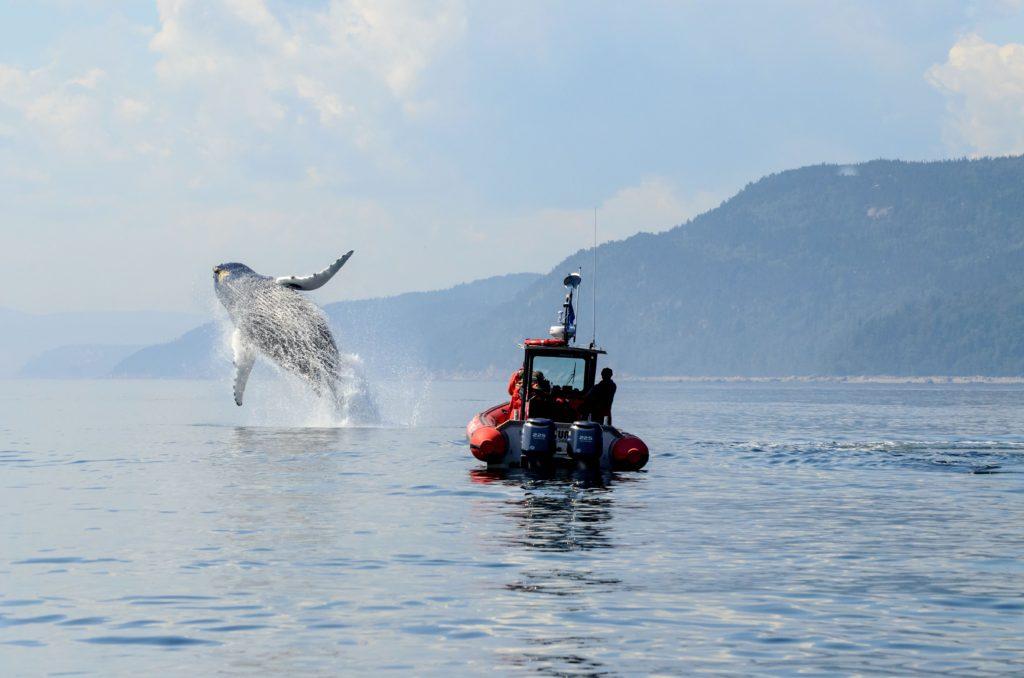 Québec, Mars Loiselle, Saut d'une baleine à bosses